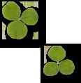 2枚の3つ葉のクローバー